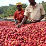 Suché, mokré či medové zpracování kávy: Jakou metodu vybrat?