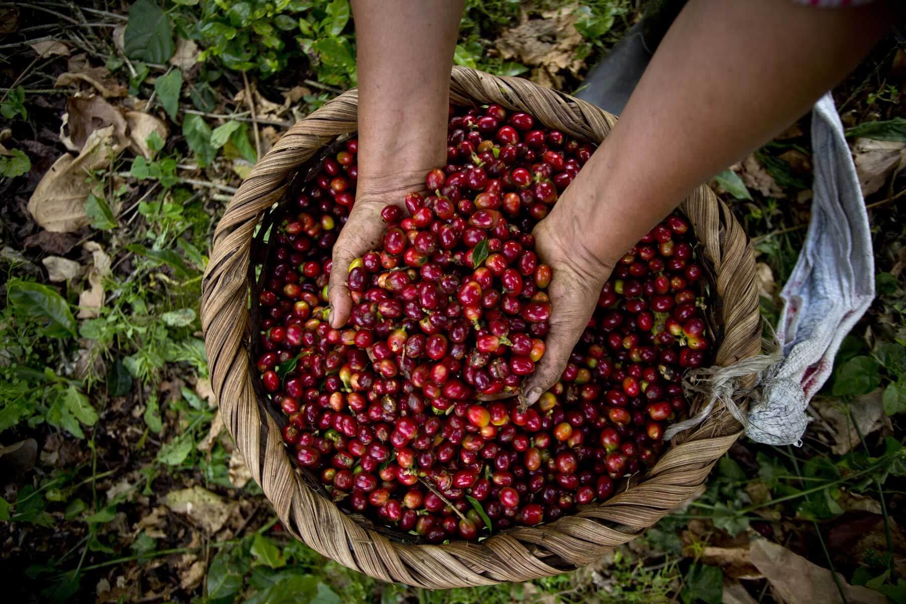 Kávové odrůdy — je důležité vybírat si zrnka i podle odrůd?