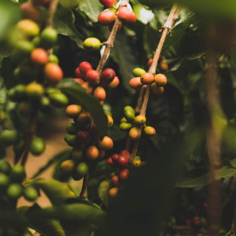 Znamená vyšší nadmořská výška vyšší kvalitu kávy?