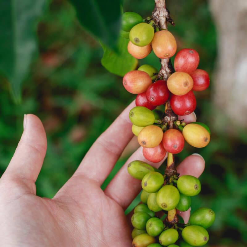 Výběrová vs Komoditní káva — 3 hlavní rozdíly při zpracování kávy